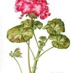 Geranium - Watercolour on paper